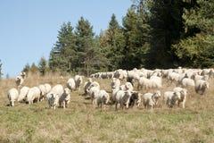 Troupeau des moutons Image libre de droits