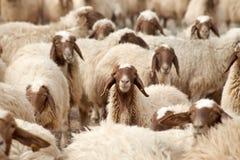 Troupeau des moutons Photographie stock