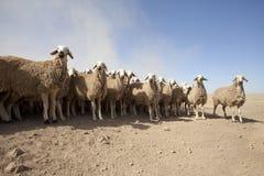 Troupeau des moutons Photo libre de droits