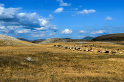 Troupeau des moutons Photos stock