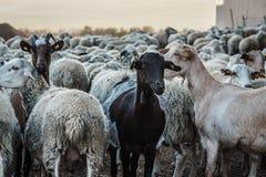 Troupeau des moutons Images stock