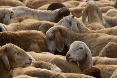 Troupeau des moutons photos stock