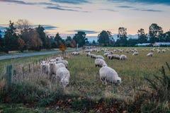 Troupeau des moutons au Nouvelle-Zélande photo libre de droits