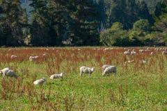 Troupeau des moutons au Nouvelle-Zélande Photos libres de droits