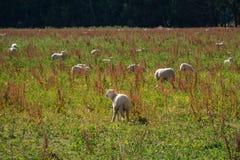 Troupeau des moutons au Nouvelle-Zélande Photos stock