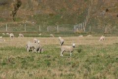 Troupeau des moutons au Nouvelle-Zélande Photographie stock libre de droits