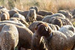 Troupeau des moutons dans la consommation de champ images stock