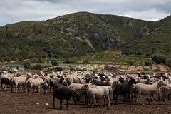 Troupeau des moutons dans le domaine image libre de droits