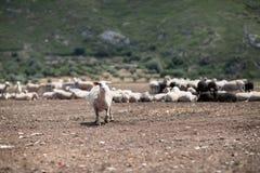Troupeau des moutons dans le domaine photographie stock libre de droits