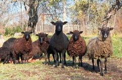 Troupeau des moutons dans le jardin photo stock