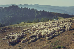 Troupeau des moutons dans le stylo de moutons Photo libre de droits