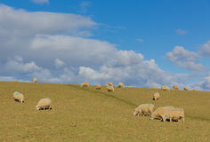 Troupeau des moutons dans un domaine au printemps Photos stock