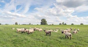 Troupeau des moutons dans un pâturage devant la digue Image stock