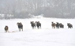 Troupeau des moutons de mouflon en hiver Photos stock