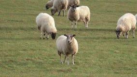Troupeau des moutons frôlant dans un pré