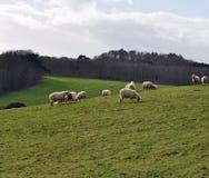 Troupeau des moutons frôlant sur une colline Images stock