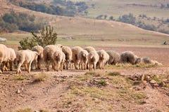 Troupeau des moutons marchant dans une ligne Images stock
