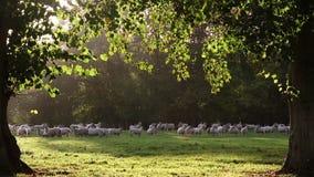 Troupeau des moutons ou des agneaux frôlant sur l'herbe dans le domaine anglais de campagne entre les arbres, Angleterre banque de vidéos
