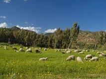 Troupeau des moutons près de San Priamo, Sardaigne, Italie Image libre de droits