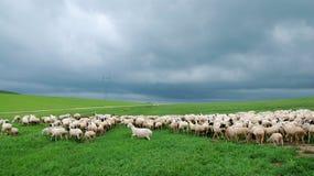 Troupeau des moutons sous le nuage foncé Photos stock