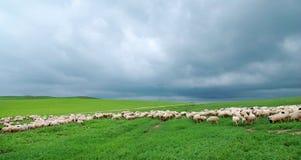 Troupeau des moutons sous le nuage foncé Photographie stock libre de droits
