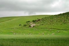 Troupeau des moutons sous le nuage foncé Image stock