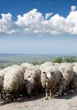 Troupeau des moutons sur la route Image libre de droits