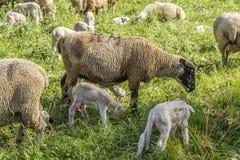 Troupeau des moutons sur un pâturage vert suggérant la ferme développée organique photos libres de droits