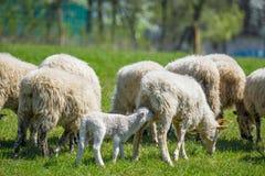 Troupeau des moutons sur un pré de ressort Photo libre de droits