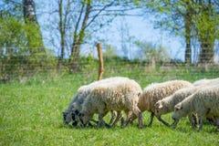 Troupeau des moutons sur un pré de ressort Photo stock