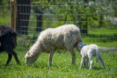 Troupeau des moutons sur un pré de ressort Photographie stock libre de droits
