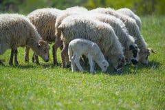 Troupeau des moutons sur un pré de ressort Photographie stock