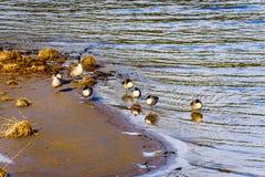 Troupeau des oies de Canada chez Pitt Lake près de la ville de l'érable Ridge dans Fraser Valley de Colombie-Britannique Photographie stock libre de droits
