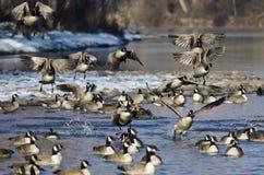 Troupeau des oies de Canada décollant d'une rivière d'hiver Images stock