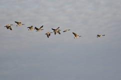Troupeau des oies de Canada volant dans le ciel de matin Photo stock
