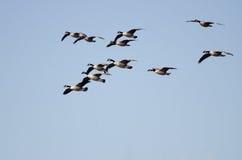 Troupeau des oies de Canada volant en ciel bleu Photos stock