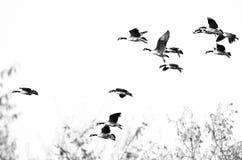 Troupeau des oies de Canada volant sur un fond blanc Photographie stock