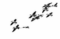 Troupeau des oies de Canada volant sur un fond blanc Images libres de droits