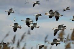 Troupeau des oies de neige débarquant dans le marais Photo libre de droits