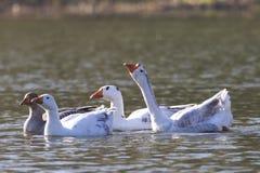 Troupeau des oies domestiques blanches et grises nageant sur le lpond Images stock