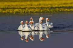Troupeau des oies domestiques blanches nageant sur le lac Images stock