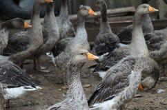 Troupeau des oies domestiques dans le village Photo stock