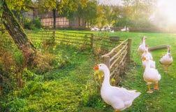 Troupeau des oies sortant une cour Photos stock