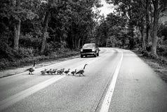 Troupeau des oies traversant la route noire et blanche images stock