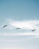Troupeau des pélicans volant dans la formation en ciel bleu lumineux Image stock