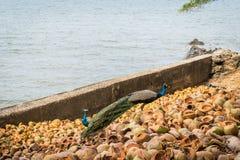 Troupeau des paons colorés marchant sur les roches côtières de la mer Méditerranée Images stock