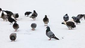Troupeau des pigeons dans la rue de ville, horaire d'hiver Photos libres de droits