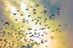Troupeau des pigeons en ciel de coucher du soleil Photographie stock