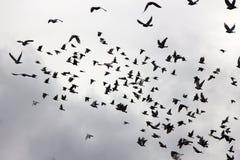 Troupeau des pigeons en ciel de coucher du soleil Photographie stock libre de droits