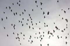 Troupeau des pigeons en ciel de coucher du soleil Photos libres de droits